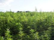 Farmers field of marijuana